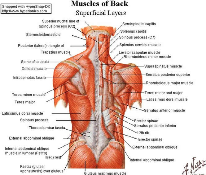 (5) The various muscles and intricacies of the back.